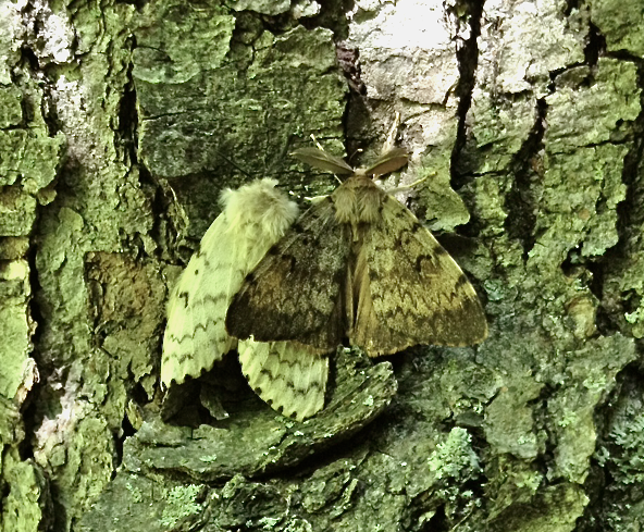 Female (l) and male (r) Gypsy moth, caught in the act.