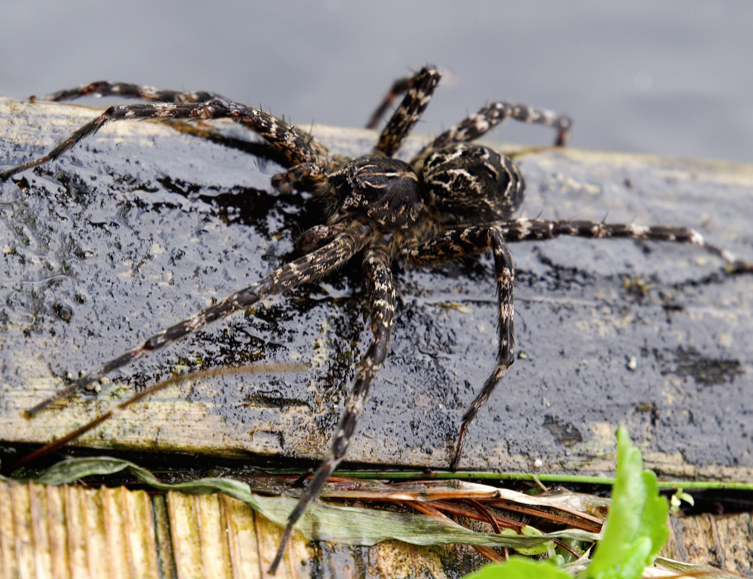 Canada's largest spider ...sittin' on the dock of the bay (1/3)