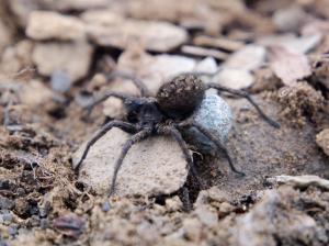 A wolf spider (Lycosidae)