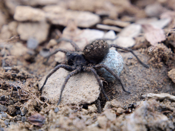 """It matters that this is Arctosa hirtipes instead of """"Wolf spider species X"""""""