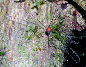 An Opiliones from Panama (with mites, too!)