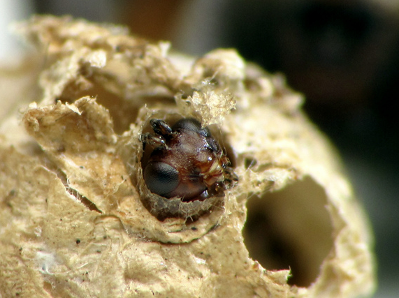 A Gelis emerging from a wolf spider egg sac. Photo by Crystal Ernst, reproduced here with permission.