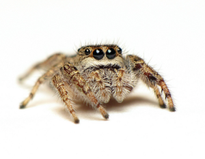A beautiful jumping spider. Photo by C. Ernst, reproduced here with permission.