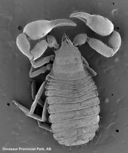 SEM of a pseudoscorpion (Chernetidae) - copyright D. Walter (reproduced here with permission)