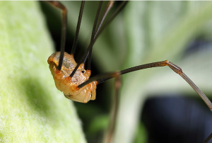A lovely Harvestmen - photo by B. Valentine, reproduced here with permission