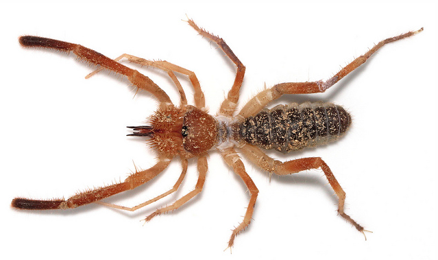 "A Solifugid - this stunning image is courtesy of Joe Lapp (""spider joe""), reproduced here with permission."