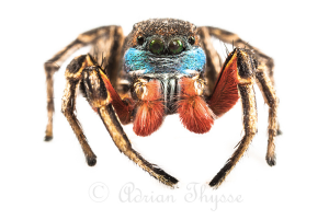 Habronattus americanus - photography by A. Thysse (reproduced here, with permission)