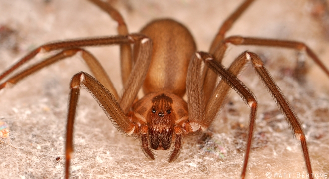 A beautiful brown recluse spider. Photo © Matt Bertone, reproduced here with permission.