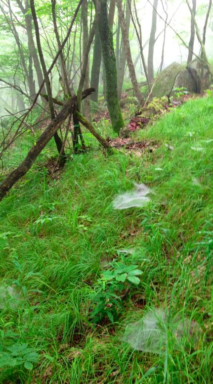 Agelenopsis webs