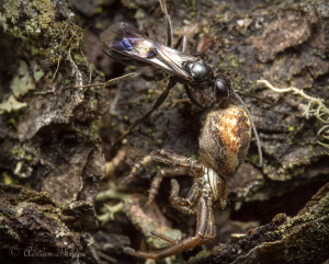 Dipigon sayi with Xysticus prey