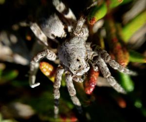 Arctic wolf spider (Lycosidae), genus Alopecosa