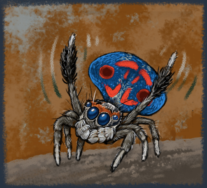 A male peacock spider (Maratus amabiis), doing his dance. [by A. Seago, reproduced here with permission]