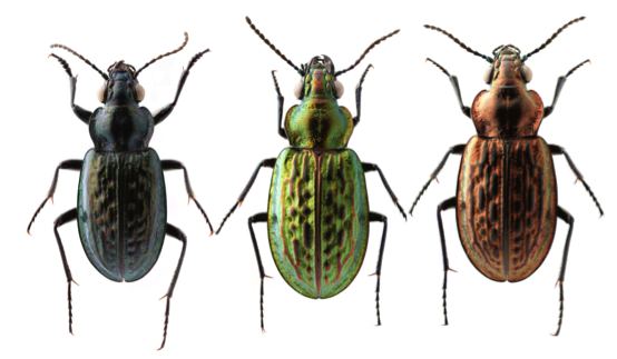 Three color morphs of Blethisa catenaria, a rare subarctic species (H. Goulet)