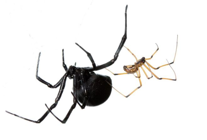 Surely you want to know more about these lovely Black Widow spiders? Photo by Sean McCann, reproduced here with permission