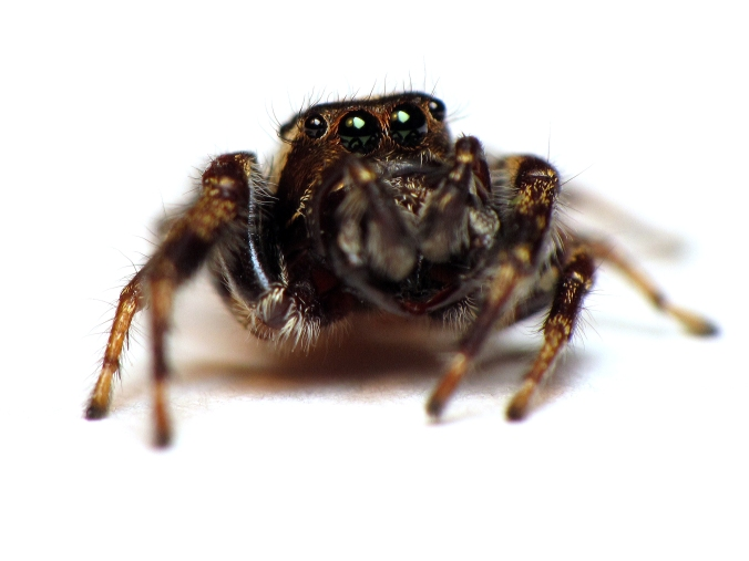 A male bronze jumper (Eris militaris). Photo by C. Ernst, reproduced here with permission.