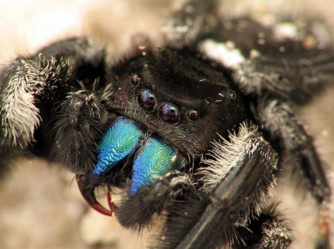 An awesome Phidippus spider. Photo by Sean McCann, reproduced here with permission