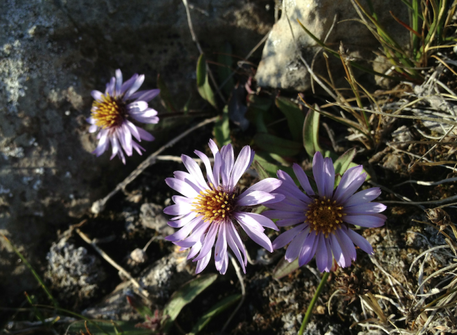 Arctic wildflowers. Worthy of research... just because?