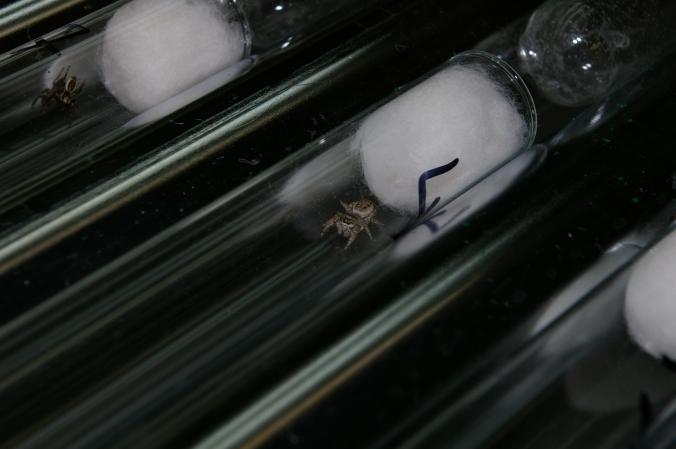 One of our study spiders, in its tube. (Photo by R. Royaute)