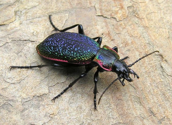 Carabus vietinghoffi. Photo by Henri Goulet.