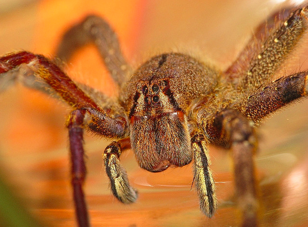 A wandering spider that is sometimes found in fruit (photo by Sean McCann, reproduced here with permission)