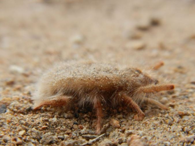 Not meant for speed, solifugids in the Hexisopodidae family are equipped with fossorial 2nd, 3rd, and 4th legs. Photo by M. Kent