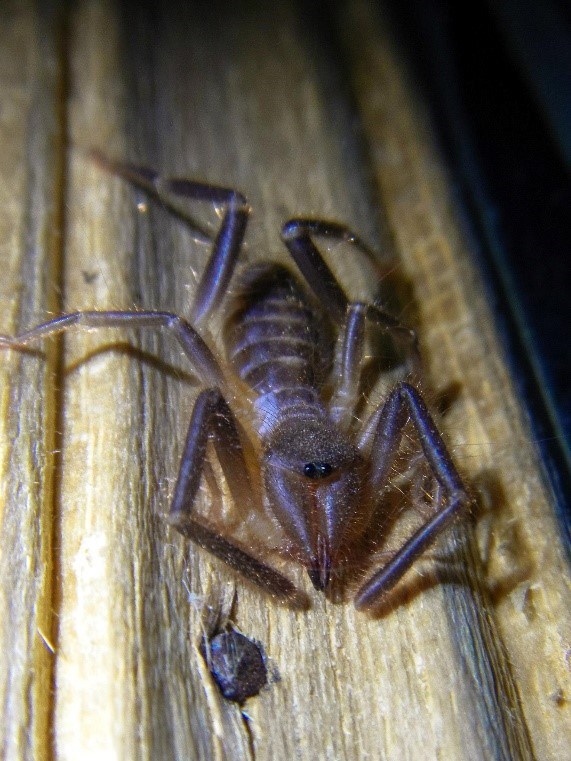 One of only a handlful of solifugid species found in wet, tropical environments. This solifugae was observed in the Monteverde Cloud Forest clinging to a window using its sutorial organs