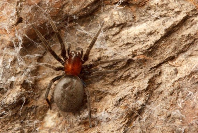 This is a lovely spider species in the family Titanoecidae. (Photo by Sean McCann)