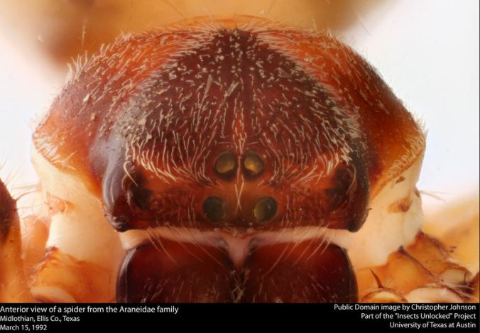 Here's looking at you... A close up of an Araneidae, from Insects Unlocked.