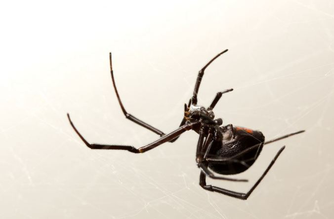 Image result for Black Widow Spider Tumblr