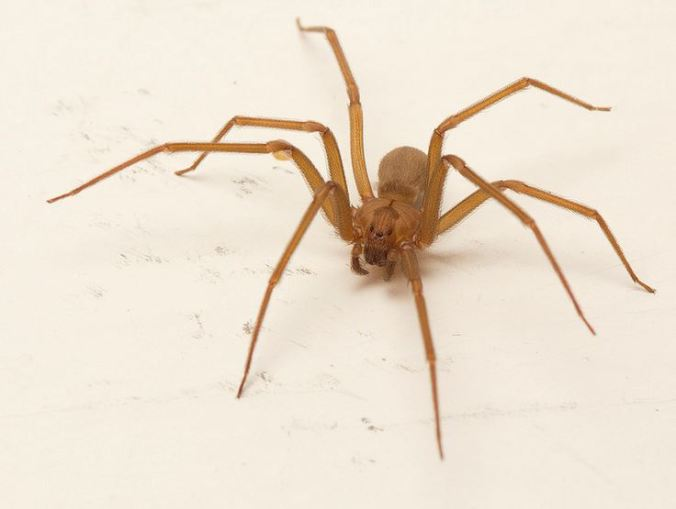 Two of my favourite Arachnologists (Sean and Catherine) have been on a great SPIDER TRIP adventure! This is one of the species they stumbled across in Texas. Yes, it's a brown recluse (photo by S. McCann).